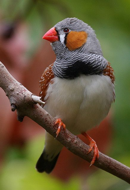 Zebra Finch. These birds are very easy to keep. Our finches mated, laid eggs and taught their young to fly in our aviary.