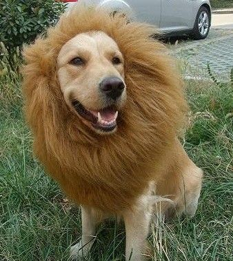 Lion Mane Dog costume. If Boudreaux and Gunnar made puppies!