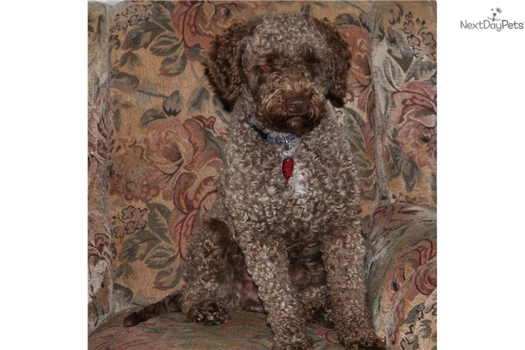 """Ducketts at Lagotto Romagnolo of Canada, DCKLAGOTTO, are proud to announce puppies planned Dec 30, 2016. Limited Premium """"Truffle Dogs""""-Please reserve early, www.DuckettTruffieres.com or www.LagottoRomagnoloOfCanada.com. Lineage of the Champions- OFA Goo"""