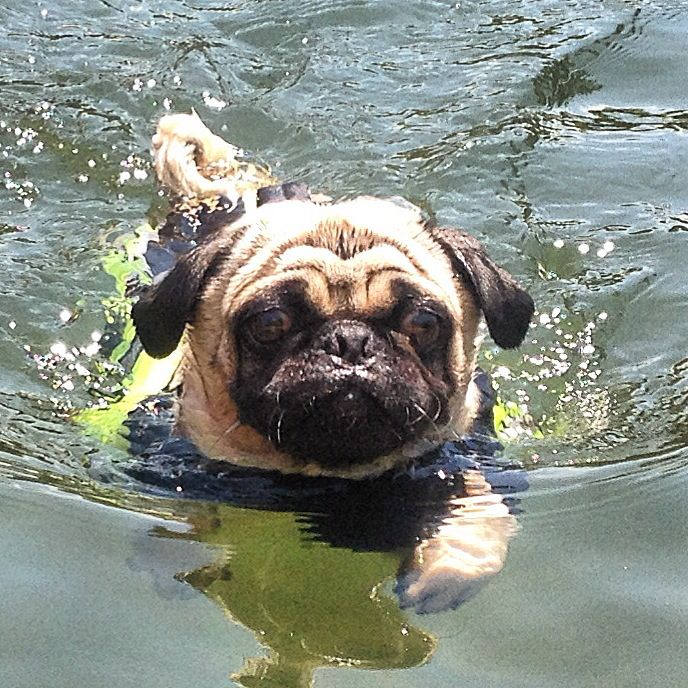 Even though people say they can't swim, this pug can!