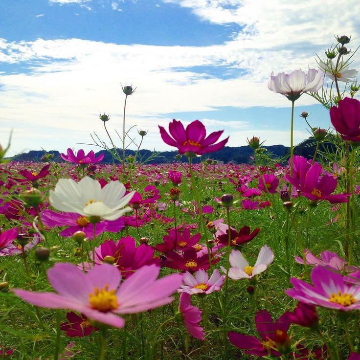 2015.10.15 コスモス畑 寄り道して隣町のコスモス畑へ 満開で綺麗でした #コスモス#コスモス畑#秋桜#フラワー #満開#秋#10月 #flower#flowers#green #cosmos#field#cosmosfield by m_shinobu918