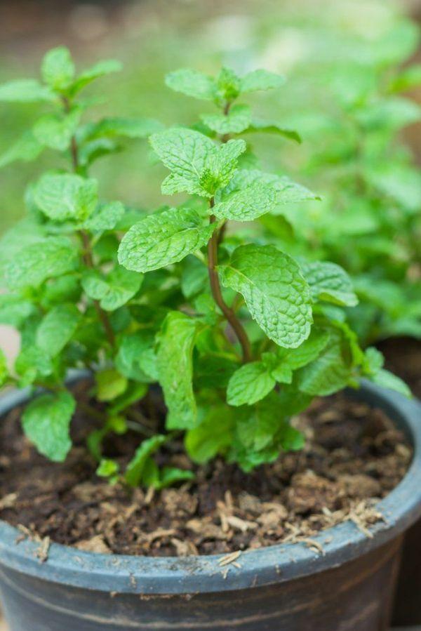 Heilpflanzen Minze pflegen kräutergarten