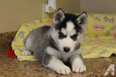 Sweeet Siberian Husky puppies Ready now for Sale in San Antonio, Texas Classified | AmericanListed.com