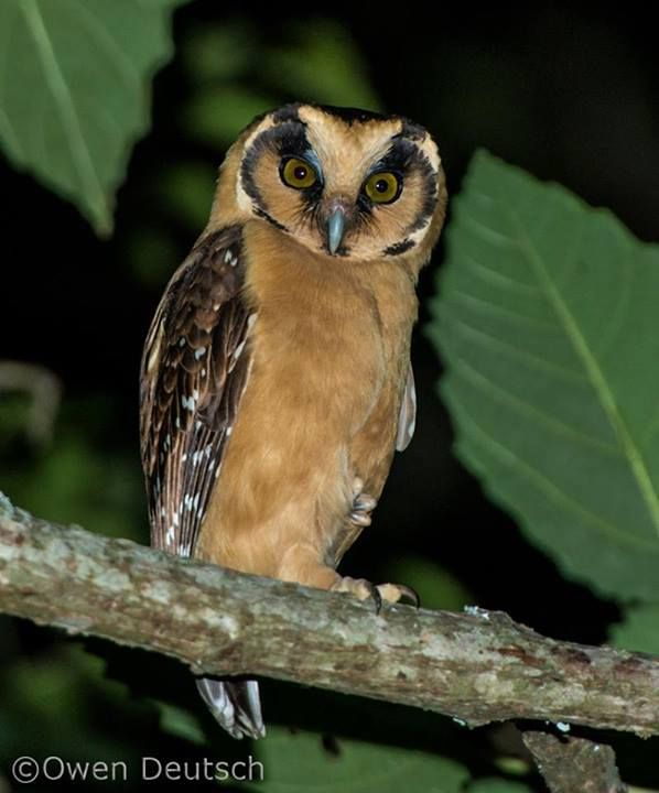 Buff-fronted Owl, very rare owl specie from South America by Owen Deutsch
