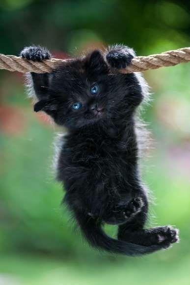 Gatito negro está colgando de la cuerda