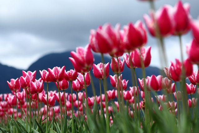 #Tulips #top15 #March #Flowers #marzo #tulipani #tulipano #tulip #pink #rosa #field #tulipfield #spring #primavera