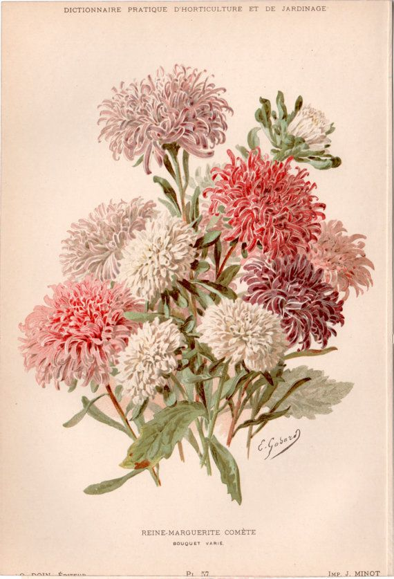 Antique botanical print aster illustration reine for Botanic fleurs artificielles