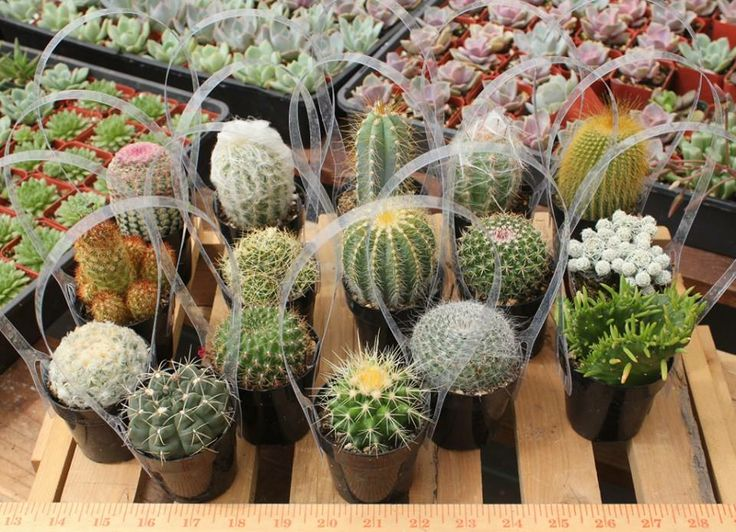 126 best images about cactus for sale on pinterest Cactus pots for sale