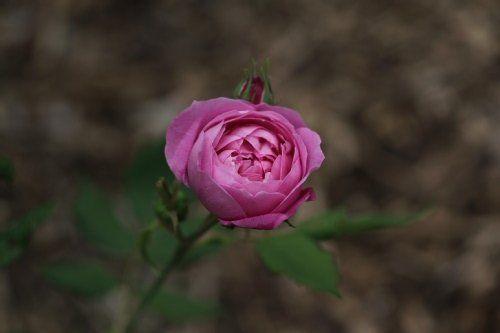Rosa 'Reine Victoria' - Rosier, Rose, Rosier 'reine victoria', Rose 'reine victoria'   Toutes les plantes avec Florum