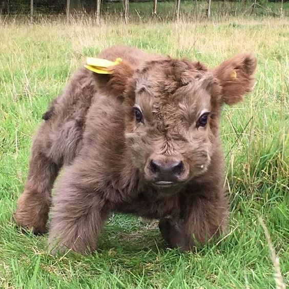 """highland calf This little guy doesn't look real. He looks more like a """"stuffy""""....SO SO CUTE?"""