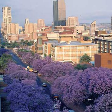 Beautiful Jacaranda's - Pretoria, South Africa