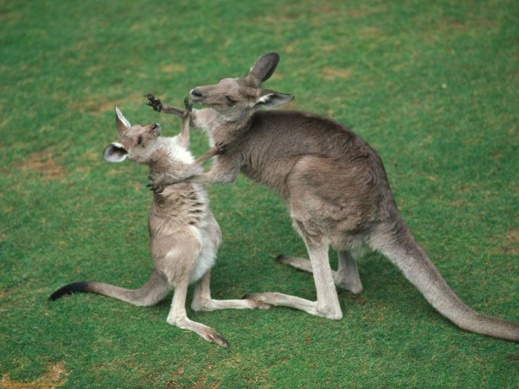 images of kangaroos | ... of kangaroo images to enjoy the myriad moods of