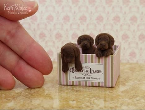 chocolate labs for sale?!