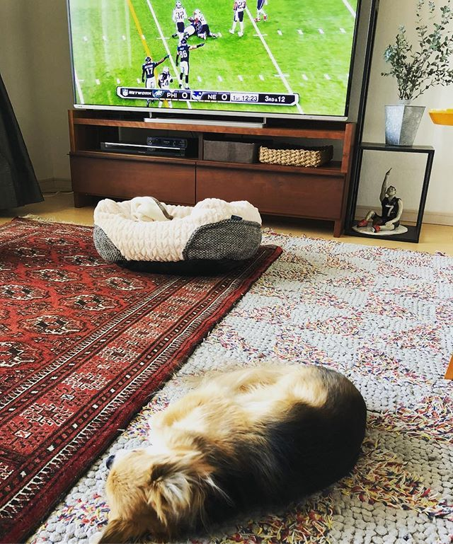 20180205 . .  スーパーボウルには興味のないチャンプでオハゲツヨービー🏈 実はもう40年来のNFLファンのアタシ 49ers やCowboys が強かった頃から! . .  Not so in to football 🐶 Guess moms  gonna do nothing but enjoy Super Bowl on TV today🏈 . .  #チャンプうとうと#愛犬#ワンコ#チワワ#犬のいる暮らし #dogstagram #dog#instadog#chihuahua#ilovemydog #superbowl . .