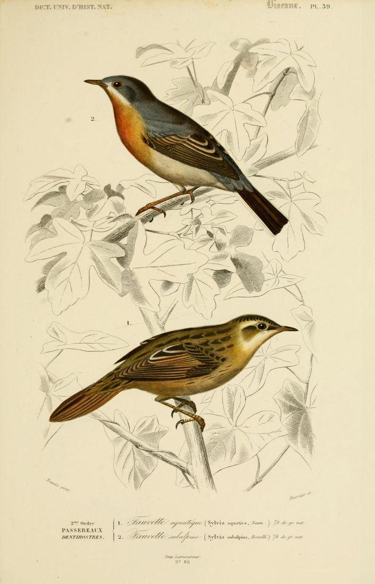 gravures couleur d'oiseaux - Gravure oiseau 0201 fauvette subalpine - sylvia subalpina - passereau - Gravures, illustrations, dessins, images