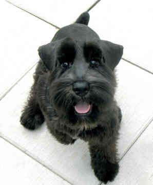 Black miniature schnauzer. He is so happy!