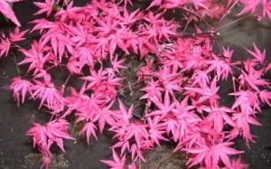 Acer palmatum Beni Maiko   DWARF Part shade  * Zones 5-8  * 6-8' tall * Origin Japan  Extraordinary in cultivation!  Radiant spring scarlet foliage!  Great choice for bonsai!