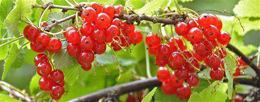 Vinbärsbuskar - Kalender, Mars, Vinbär, Fruktträdgård