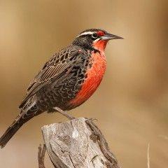 Resultado de imagen para aves zona precordillerana chile