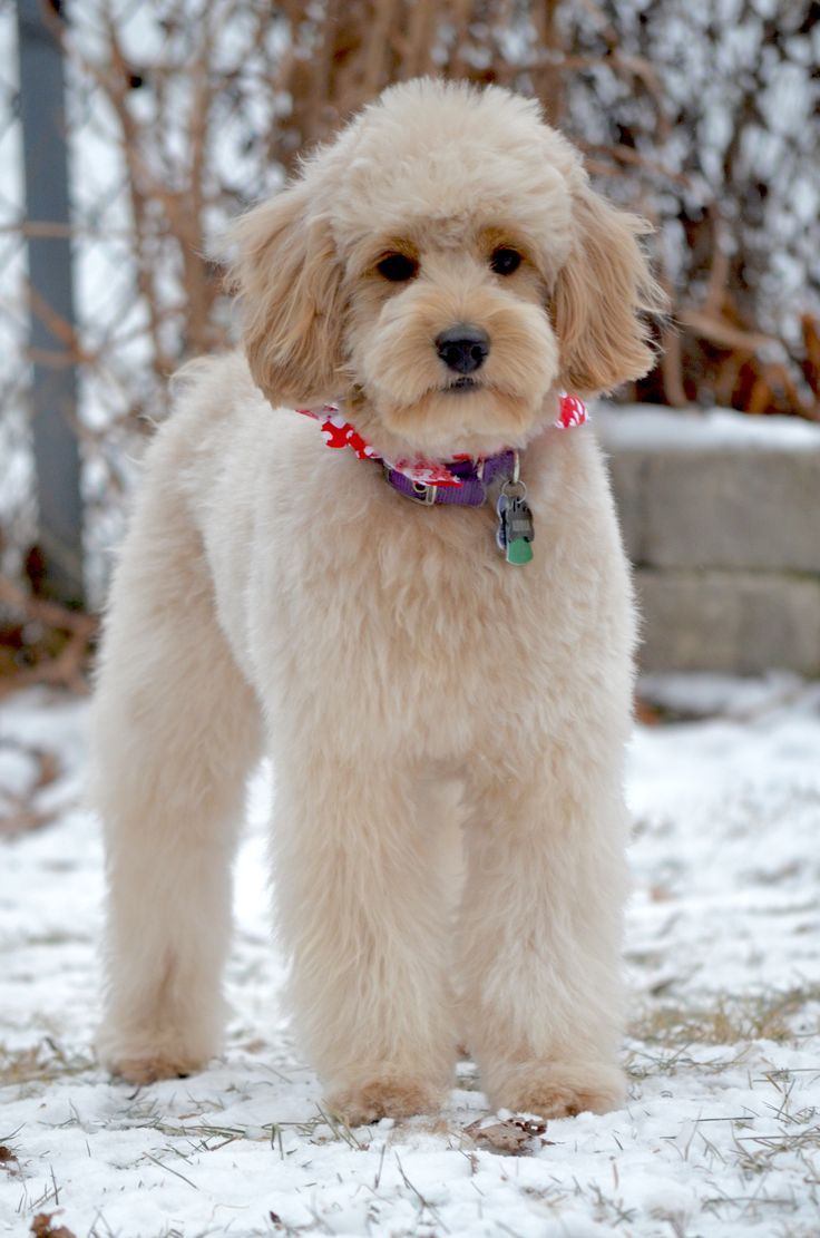 how to cut your goldendoodle