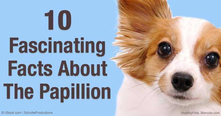 The Papillon dogs are very smart, outgoing, and intelligent -- they excel at dog sports, including obedience competitions. http://healthypets.mercola.com/sites/healthypets/archive/2016/03/18/papillon-dog.aspx