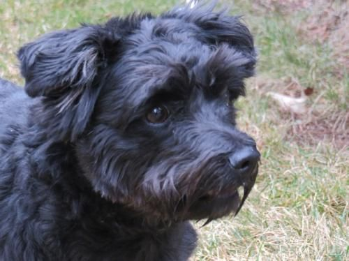 Juicy is a 2-3 year old poodle/terrier mix. She is house trained and good with dogs. We will have more info soon! Last Day Dog Rescue | Livonia, MI 48151 | ourlastdaydogs@gmail.com