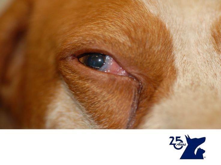 Conjuntivitis en perros y gatos. CLÍNICA VETERINARIA DEL BOSQUE.La conjuntivitis es la inflamación de la conjuntiva que es la parte que recubre parte interior de los párpados. Los perros y los gatos tienen un tercer párpado o membrana nictitante, que también es cubierta por la conjuntiva. Si notas enrojecimiento en estas partes del ojo de tu mascota, o lagañas abundantes, te recomendamos traer a tu mascota para realizar un diagnóstico y darle el tratamiento adecuado…