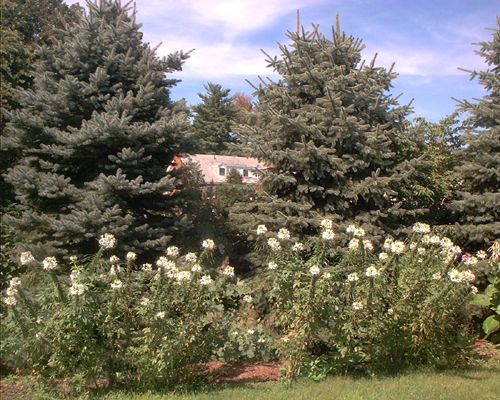 Pictures of White Flowers: Picture of White Cleome Flowers