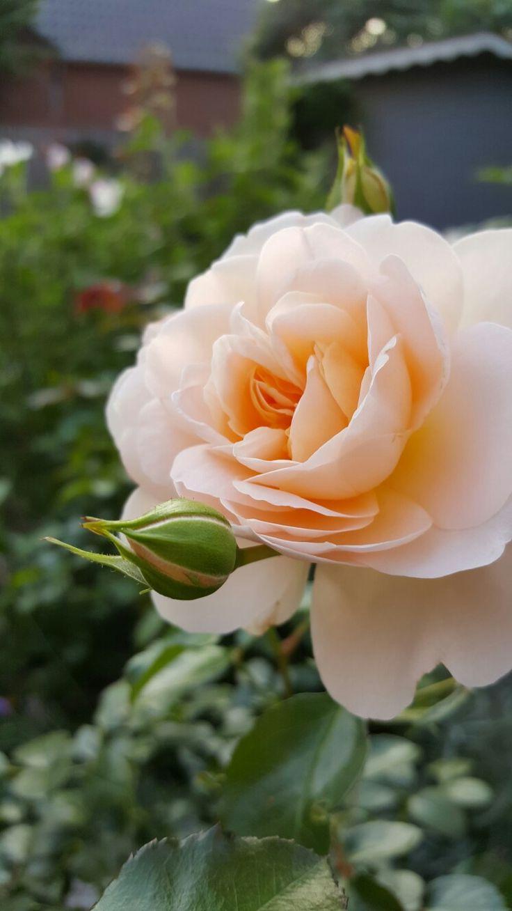 1170 besten roses beautiful Bilder auf Pinterest   Pflanzen, Schöne ...