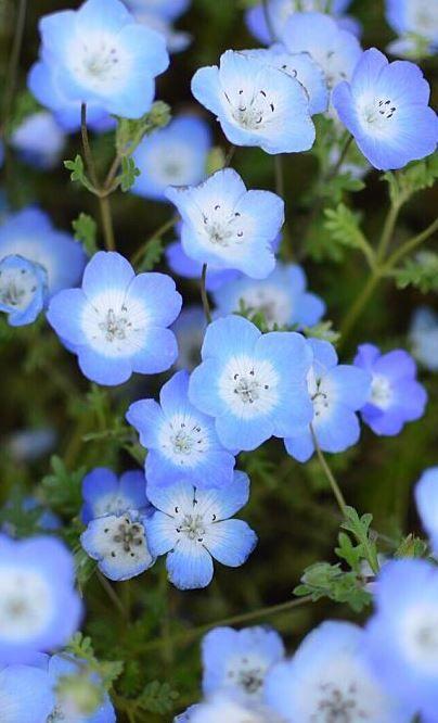 Myosotis #fleurs #bleues