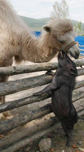 Gris/kamel puss :D