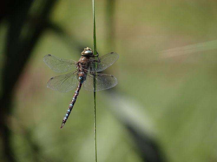 dragonfly resting - dragonfly resting