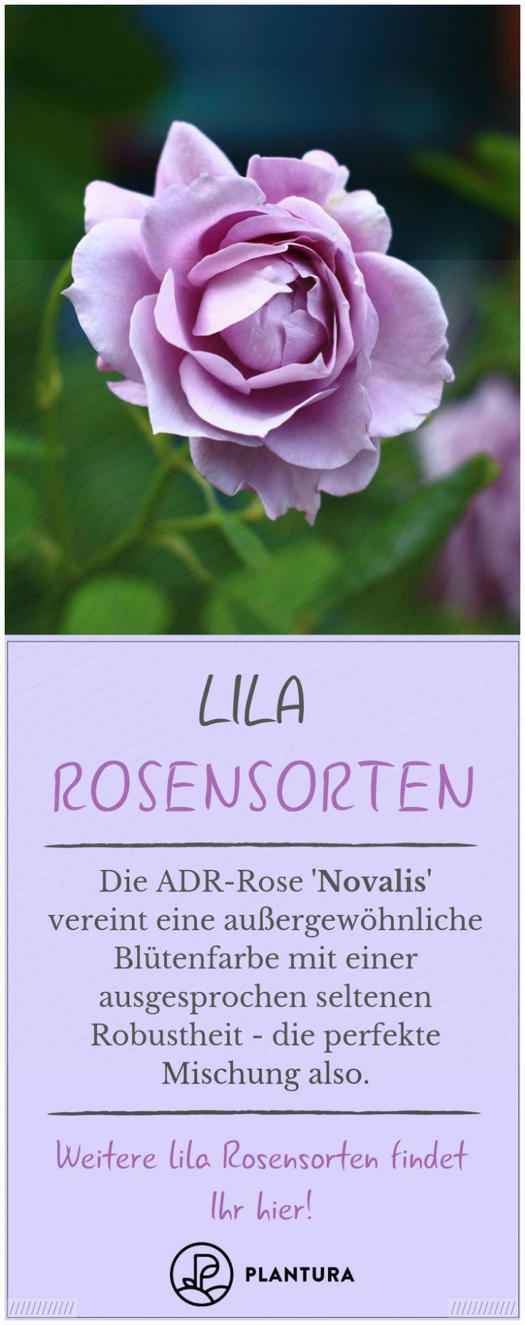 Lila Rosen: Die 5 schönsten Rosensorten von fliederfarben bis violett – Magdalena Ziegler