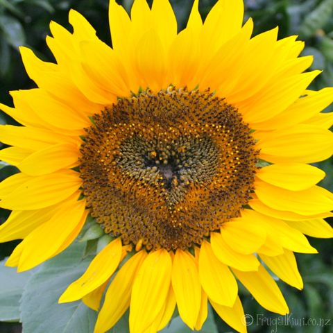 From friends @Frugal Kiwi. Beautiful sunflower. While we're in the midst of winter, they have sunflowers.