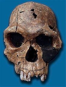 Homo habilis-KNM ER 1813, descubierto en Kenia. 2,3-1,6 millones de años. Tanzania, Kenia y Sudáfrica. Definido por L.Leakey.