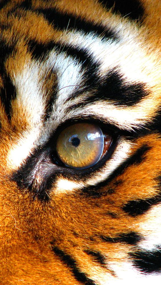 It's the eye of the tiger...