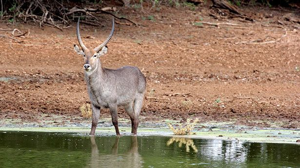 Waterbok