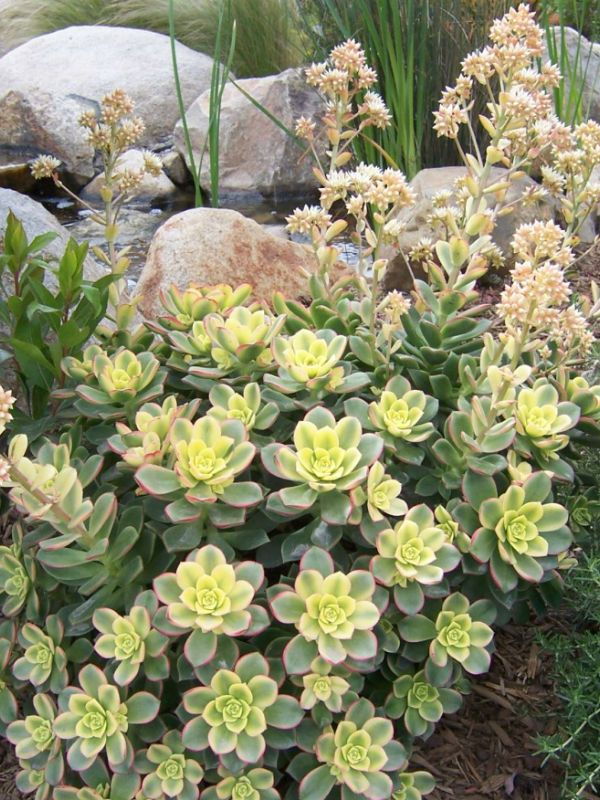 Aeonium 'Kiwi' - via World of Flowering Plants