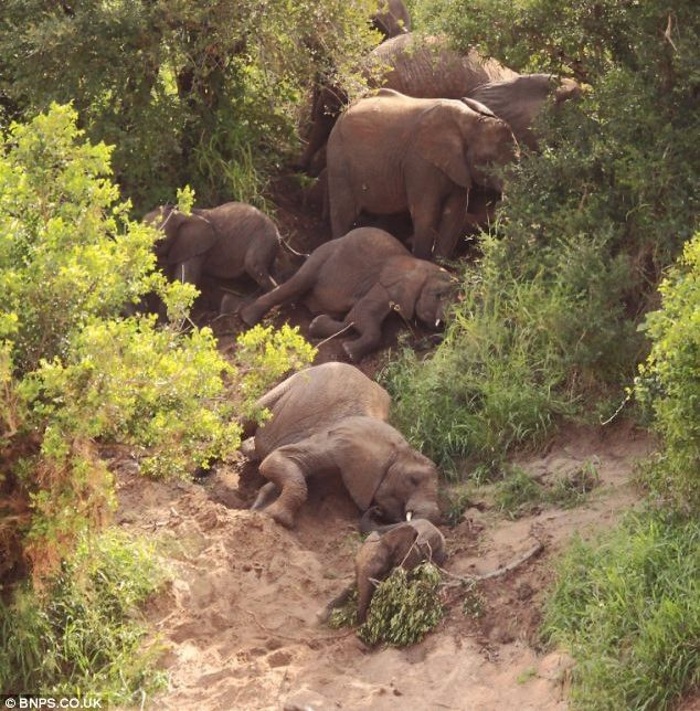 Elephants sliding down Sabie Riverbank 1
