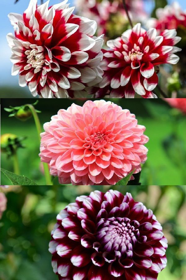 Dahlias Dahlia Spp Are Hardy To All U S Department Of Agriculture Zones In 2020 Dahlia Plants Flowers