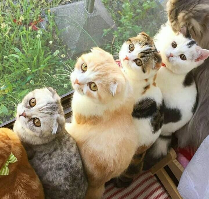 Scottish Fold Litter, Partly Grown Mom Is In The Upper