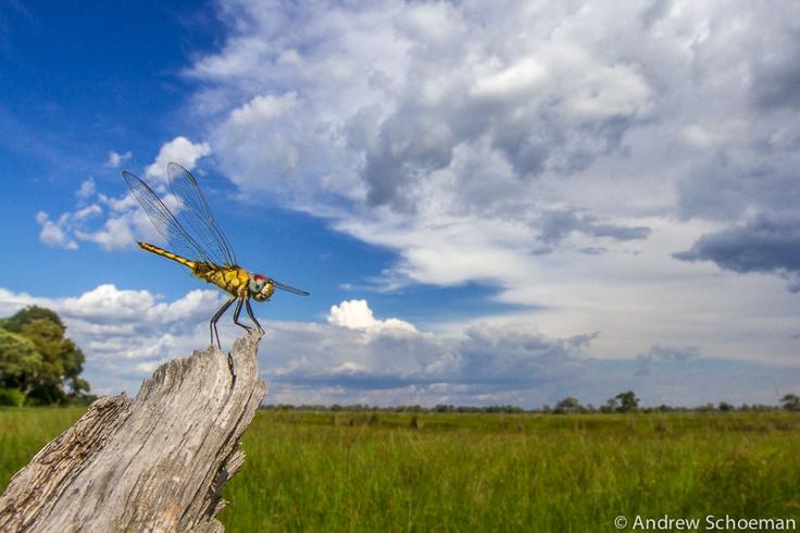 A dragonfly on the edge of the Okavango Delta floodplains.