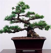 Resultado de imagen para fotos de word bonsai
