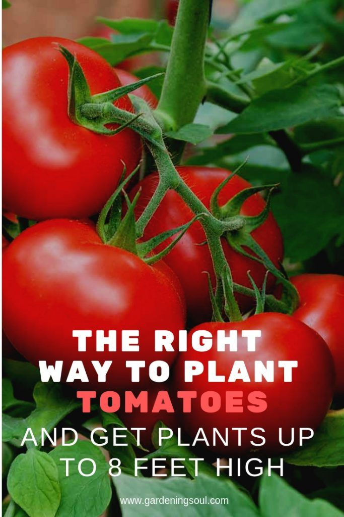 The Right Way To Plant Tomatoes And Get Plants Up To 8 Feet High Tomato Plants Growing Tomatoes Growing Tomatoes In Containers