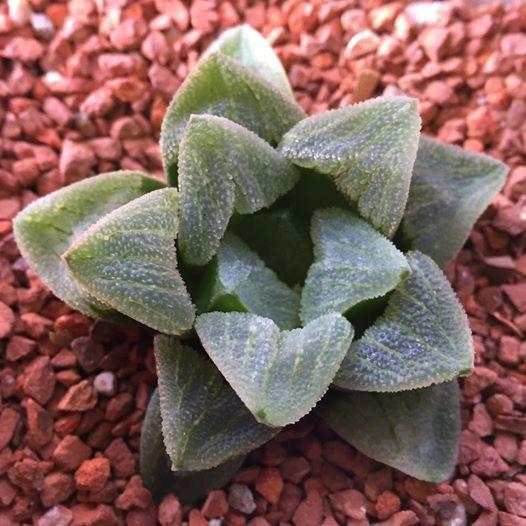 Haworthia pygmaea 'Crystallina'