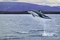 An adult wild pacific white sided dolphin is jumping high into the air, showing its playful behavior off the coast of Vancouver Island North in British Columbia, Canada.