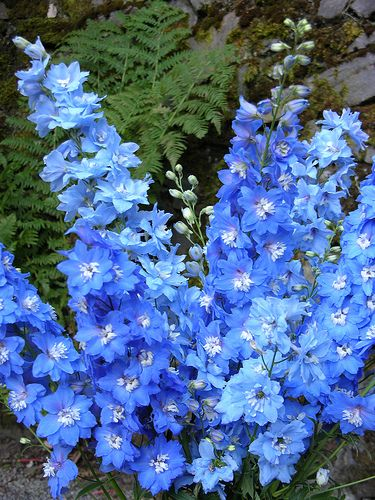 17 best images about blue flowers on pinterest blue - Plants with blue flowers a splash of colors in the garden ...