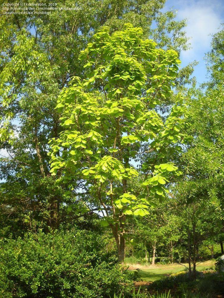 Japanese Emperor Oak (Quercus dentata)