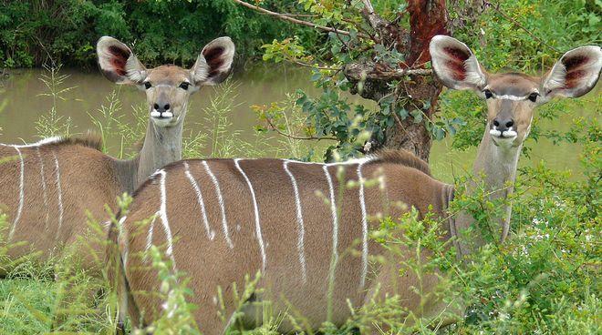 Ghana: NO alla miniera di bauxite a Tano Offin! Due antilopi Antilopi nelle foreste e savane del Gha