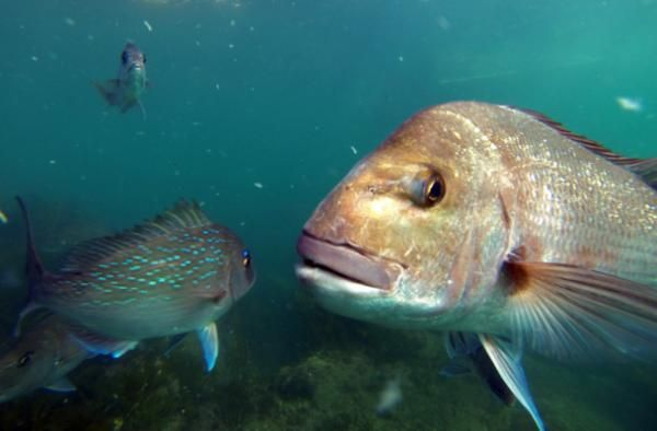 Snapper fishing. http://www.stuff.co.nz/waikato-times/news/snapper-review/9051674/Its-a-fish-fight